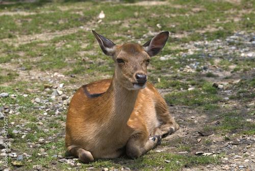 Sika deer, Nara, Japan