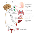 Parasympathetic pathway of the ANS, eps10