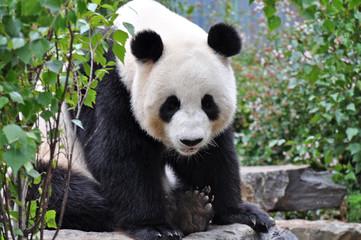 Giant Panda sitting up. Giant Panda looking in the camera