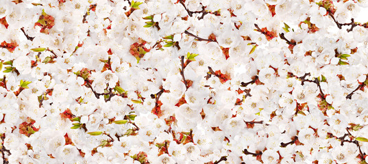 background with white cherry-tree blossom