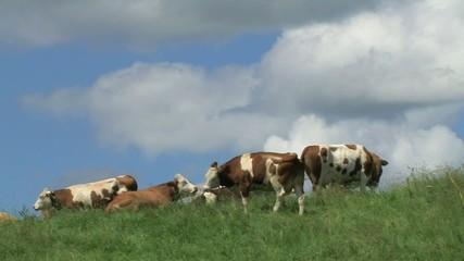Kühe im Allgäu I