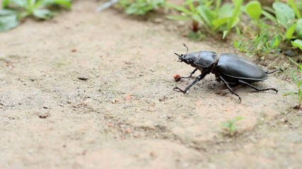 dung beetle ,Scarabaeidae insect close up