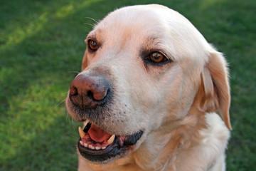 labrador dog in the garden