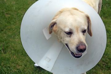 ill labrador dog in the garden wearing a protective cone