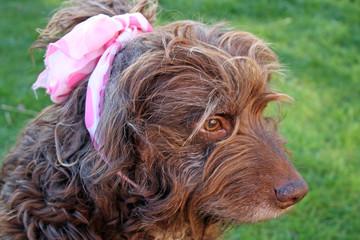 scruffy brown dog