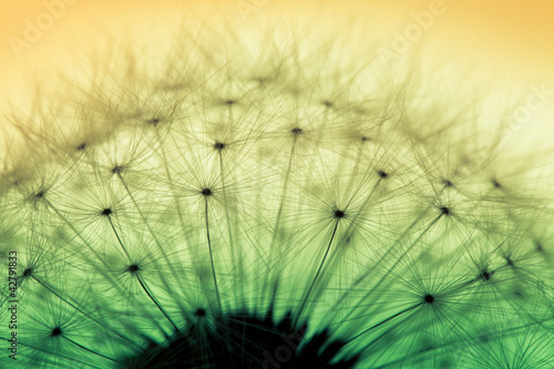 Macro of dandelion flower - 42791833