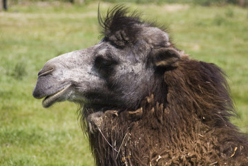 Bactrian Camel, Yorkshire Wildlife Park, UK