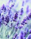 Lavender - 42795025