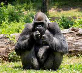 Single Gorilla Sitting