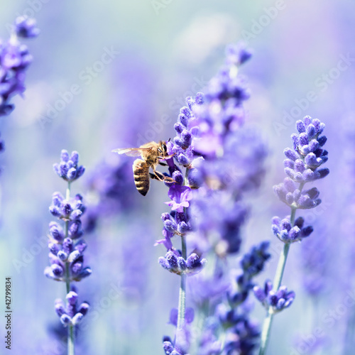 Lavender flowers and a bee © B. and E.  Dudziński