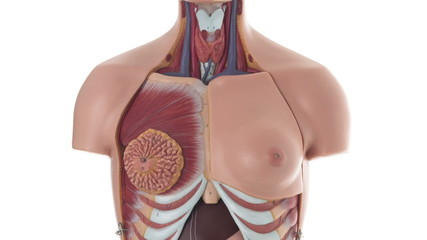 Female human body anatomical model