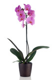Beautiful pink orchid in a flowerpot-