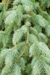 green needles of a coniferous tree as a natural background