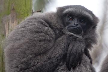 resting gibbon 6614