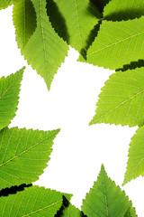 Green elm leaves isolated on white. Leaves frame