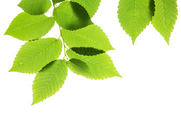 Green elm leaves isolated on white. Natural frame