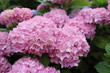Hortensia rose