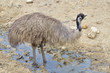 Emu (Dromaius novaehollandiae) in the puddle