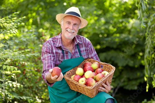 Senior gardener with a basket full of apple