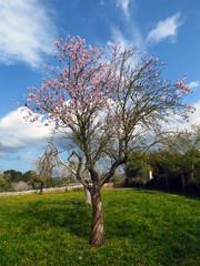 Mandelbaum  Mallorca