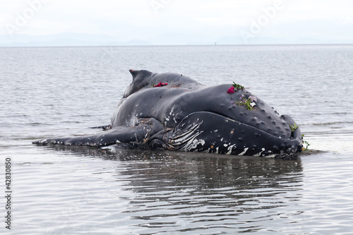 Juvenile Humpback whale washes ashore and died
