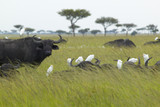 Cape Buffalo and cattle egrets in grasslands of Tsavo National park, Kenya, Africa