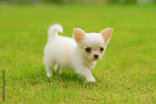 chiwawa white puppy on grass