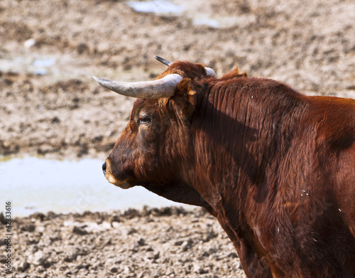 fighting bull resting in the field