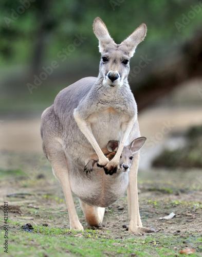 Poster Kangoeroe Australian western grey kangaroo with baby joey in pouch