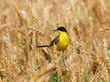 Yellow Wagtail and Wheat field, Motacilla flava