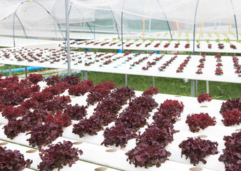 hydroponics vegetable  green house