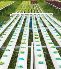 hydroponics vegetable  green house