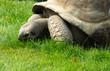 Tartaruga gigante delle Seychelles