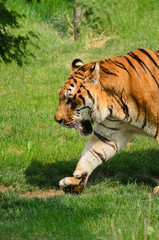 Tigre - (Panthera tigris)
