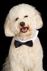 Labradoodle Dog Wearing Bow Tie