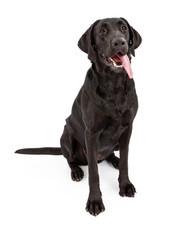 Black Labrador Retriever Dog With Tongue Out
