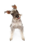 Miniature Schnauzer Dog Tilting Head