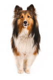Shetland Sheepdog Looking at Camera
