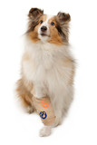 Shetland Sheepdog With Injured Leg