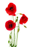Fototapety Red Poppy Flower Isolated on a White Background