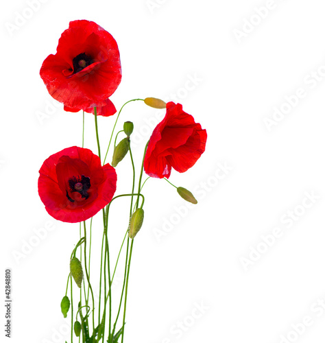 Foto op Canvas Poppy Red Poppy Flower Isolated on a White Background