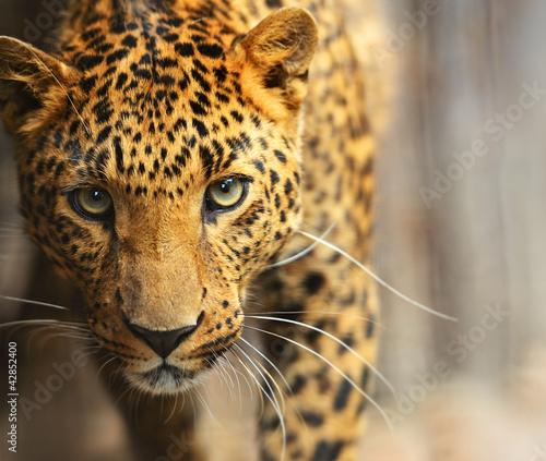 Deurstickers Foto van de dag Leopard portrait