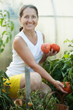 Mature woman picking  tomatoes
