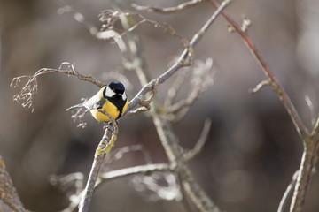 Птица синица сидит на дереве и смотрит на тебя