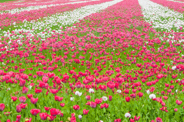 A field full of bright flowering Papavers