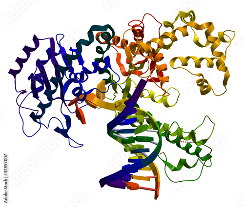 DNA polymerase I. An enzyme that participates in DNA replication