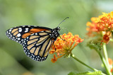Macro of Monarch butterfly (Danaus plexippus)