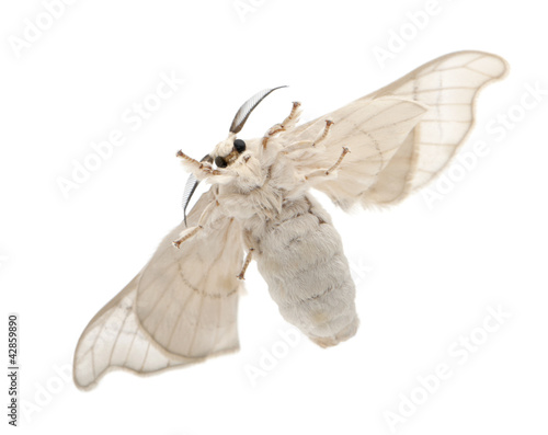Domesticated Silkmoth, Bombyx mori