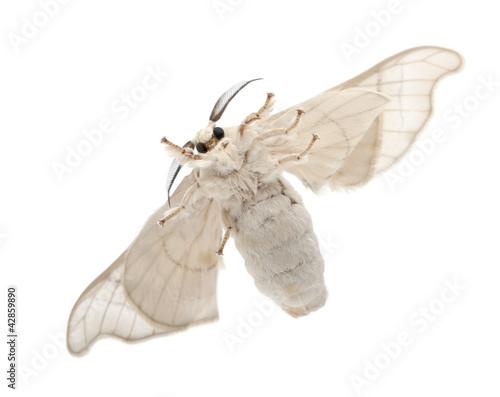 Domesticated Silkmoth, Bombyx mori