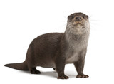 Fototapety European Otter, Lutra lutra, 6 years old